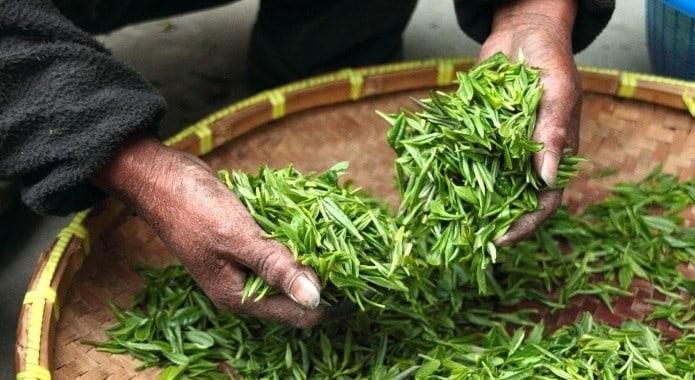 Folhas de Chá Frescas