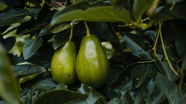 abacate num abacateiro
