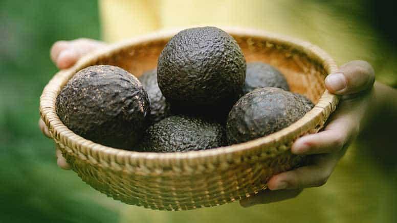 abacates maduros