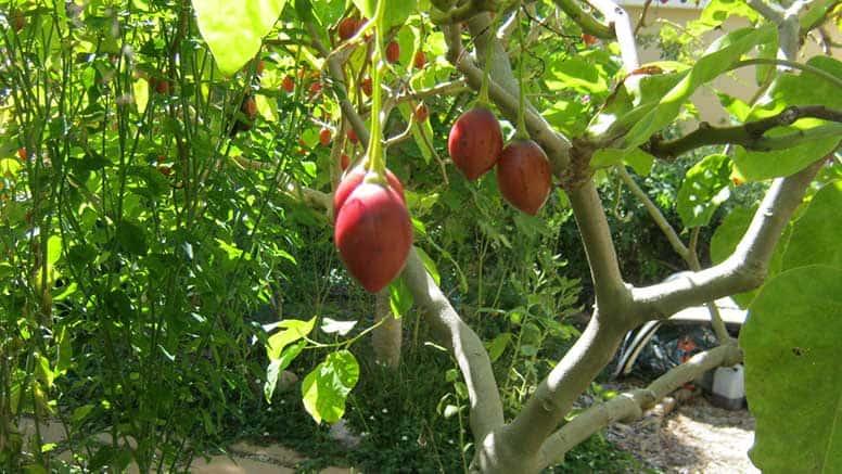 tomate de árvore